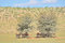 Stock Image : Springbok herd hiding under tree