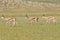 Stock Image : Springbok trio