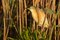 Stock Image : Squacco Heron near Reed