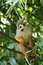 Stock Image : Squirrel monkey
