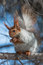 Stock Image : Squirrel that eateth up the nuts
