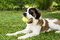 Stock Image : St. Bernard with Ball