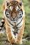 Stock Image : Stalking Tiger