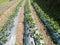 Stock Image : Strawberry plants