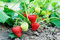 Stock Image : Strawberry plants