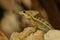 Stock Image : Striped Basilisk (Basiliscus Vittatus)