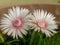 Stock Image : Succulent flowers 2