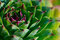 Stock Image : Succulent Plant