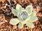 Stock Image : Succulent plants: stone lotus