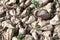 Stock Image : Sugar beet