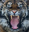 Stock Image : Sumatran tiger roar