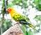 Stock Image : Sun Conure parrot macaw