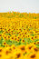 Stock Image : Sun Flower Field