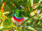 Stock Image : Sunbird, with red and blue chest, facing camera, looking up