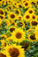 Stock Image : Sunflower