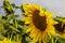 Stock Image : Sunflower Amongst Many