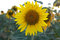 Stock Image : Sunflower in andalusia