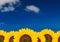 Stock Image : Sunflower background
