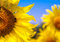 Stock Image : Sunflower with bee