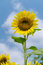 Stock Image : Sunflower on clear sky