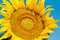 Stock Image : Sunflower Close Up