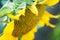 Stock Image : Sunflower closeup