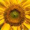 Stock Image : Sunflower closeup