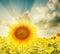Stock Image : Sunflower closeup and sunset