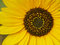 Stock Image : Sunflower detail