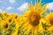 Stock Image : Sunflower field