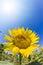 Stock Image : Sunflower