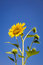 Stock Image : Sunflower isolated on the blue sky background
