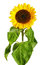 Stock Image : Sunflower isolated on white