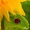 Stock Image : Sunflower and ladybug