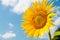 Stock Image : Sunflower over blue sky