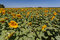 Stock Image : Sunflowers Field Provence France