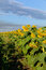 Stock Image : Sunflowers