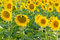 Stock Image : Sunflowers