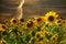 Stock Image : Sunflowers at sunset