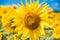 Stock Image : Sunflowerwith bee
