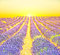 Stock Image : Sunrise in a lavender field