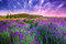 Stock Image : Sunset over a summer lavender field in Tihany, Hungary