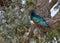 Stock Image : Superb Starling (Lamprotornis superbus)