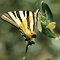 Stock Image : Swallowtail butterfly in green natural environment