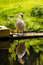 Stock Image : Swan On River Bank With Reflection