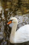 Stock Image : Swan