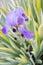 Stock Image : Sweet Iris