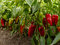Stock Image : Sweet peppers bed