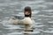 Stock Image : Swimming Goosander