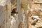 Stock Image : Syrian rock hyrax